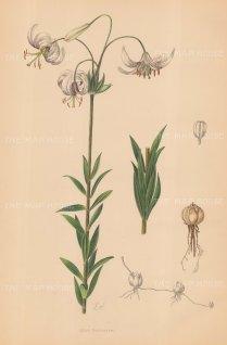 """Snelling: Lily. c1939. An original vintage chromolithograph. 14"""" x 20"""". [FLORAp2803]"""