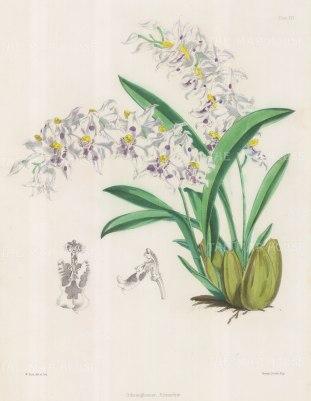 Odontoglossum Alexandrae (Crispum). Curled odontoglossum.