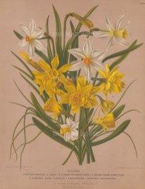 "Van Eeden: Narcissus. c1872. An original hand coloured antique chromolithograph. 10"" x 13"". [FLORAp3038]"