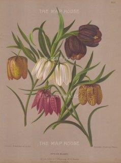 Fritillaria meleagris.