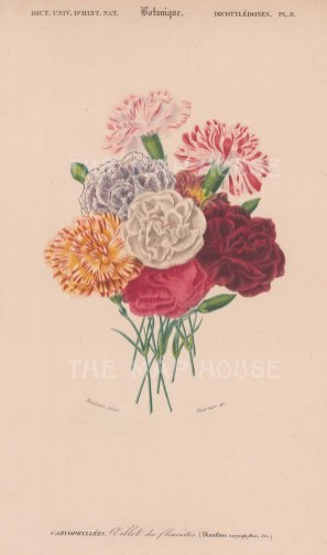 "d'Orbigny: Carnations. 1849. An original hand coloured antique lithograph. 6"" x 9"". [FLORAp3108]"