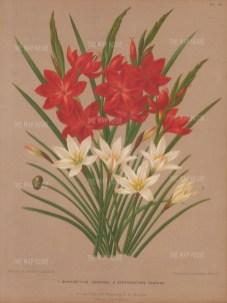 Kaffir Lily, Schizostylus Coccinea and Autumn Zephyr Lily, Zephyranthes Candida.