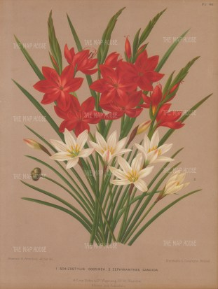 Lily: Kaffir Lily, Schizostylus Coccinea and Autumn Zephyr Lily, Zephyranthes Candida.