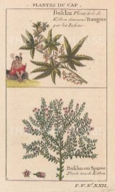 "Bellin: Bangu & Spirea. 1749. A hand coloured original antique copper engraving. 3"" x 5"". [FLORAp3173]"