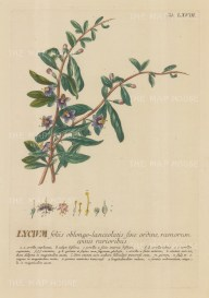 Lycium (Boxthorn): With detail of flower and key in Latin. Title heightened in gold.
