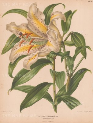 """Wendel: Lily. 1879. An original antique chromolithograph. 9"""" x 12"""". [FLORAp3251]"""