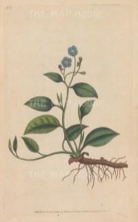 "Curtis: Blue Navelwort. 1795. An original hand coloured antique copper engraving. 5"" x 8"". [FLORAp3315]"