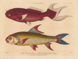 Carp (Cyprinus): Telescopic and Sickle finned Carp. After Marcus Bloch. Engraved by John Pass