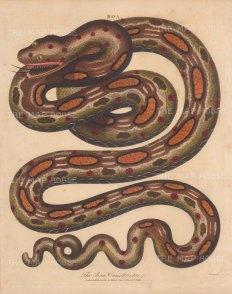 Boa Constrictor: Red tailed Boa. After Albertus Seba. Engraved by John Pass.