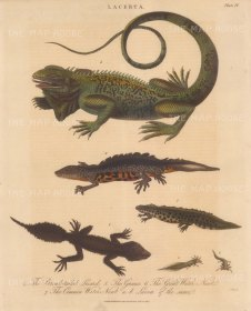 Lizards (Lacerta): Monitor Lizard (Goanna) Broad tailed Lizard, Great and Common Water Newts with details of larvae. Engraved by John Pass.