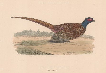 "Morris: Pheasant. 1897. An original hand coloured antique wood engraving. 8"" x 5"". [FIELDp1573]"