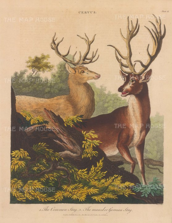 Common stag and German stag.