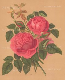 "Harriot: Roses. 1904. An original antique chromolithograph. 9"" x 12"". [FLORAp2976]"