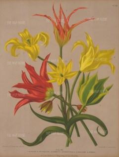 Tulips elegans, retroflexa cornuta stenopetalaviridflora persica.