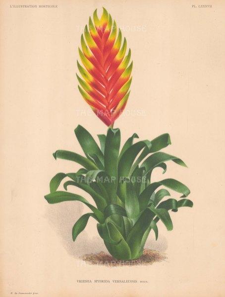 Vriesa Fulgida: Hybrid variety.
