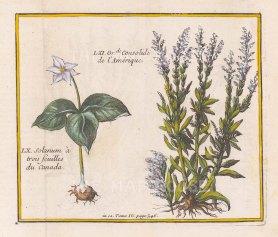 Trillium Erectum (Solanium) and Solidago (Grande de Consolide).