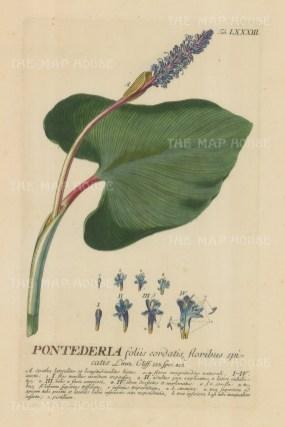"Ehret: Pickerel. 1752. An original hand coloured antique copper engraving. 9"" x 13"". [FLORAp3188]"