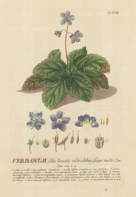 Verbascum (Mullein): With detail of the flower and key in Latin. Title heightened in gold.
