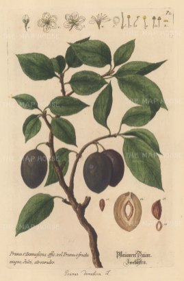 Plum: Prunus Domestica.With detail of blossom and crossection of stone.