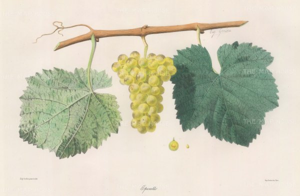 "Grobon: Wine Grapes. 1857. An original hand coloured antique lithograph. 15"" x 10"". [NATHISp3033]"