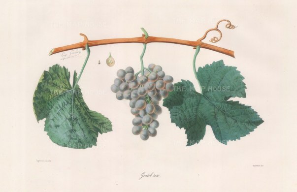 Gentil rose (Gewurztraminer) grape from Alsace.