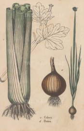 "Yonge: Celery & Onion. 1863. An hand coloured original antique wood engraving. 7"" x 10"". [NATHISp5365]"