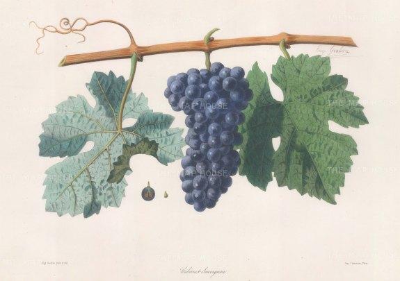 Cabernet Sauvignon grape of Bordeaux.