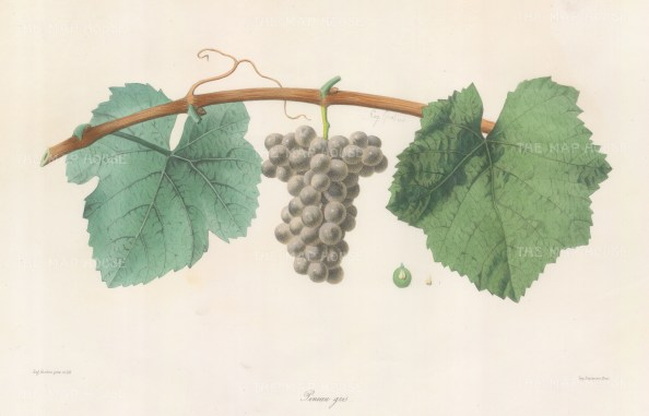 Pineau Gris grape of Alsace.