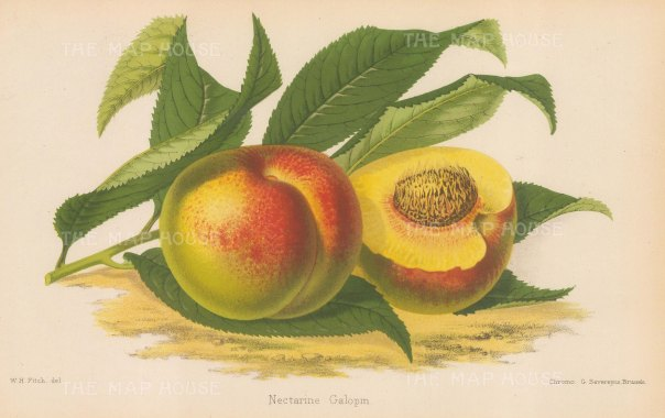 "Fitch: Nectarine. 1884. An original antique chromolithograph. 11"" x 7"". [NATHISp6910]"
