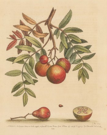 Sorbe or Service apple: Tree branch, whole fruit and segment purchased at Hammersmith market in 1752