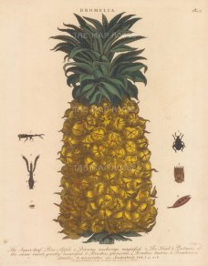 Pineapple: Sugarloaf pineapple with Brentus and bruchus insects. Engraved by John Pass.