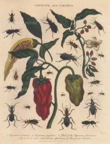 Sweet and Bell peppers (Capsicum annuum and grossum). With 19 specimens of Carabus beetles.