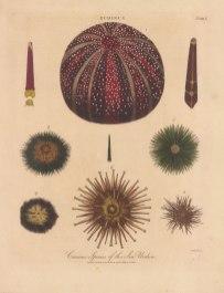 1. Echinus esculentus, 2. E. sphera 3. E. draebachiensus 4, E. miliaris 5.E.Batteri, 6. E. hemisphericus, 7. E. angulosus and 8. E. excavatus.