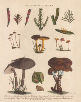 Aecidium and Agaricus: Aecidium abietinum, elatinum, columnare, viola, and Agaricus scabellus, vitellum, tricolour, porphyria and lepidomyces. Engraved by John Pass.