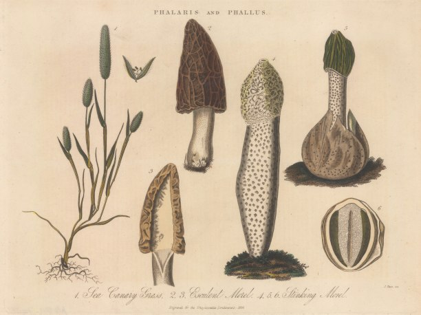 Morels: Esculent Morel, Stinking Morel with Sea Canary Grass.