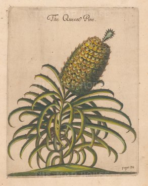 Queen Pine from one of the earliest works on Barbados.