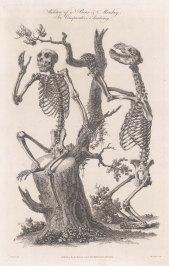 Comparative Anatomy: Skeleton of a Bear and Chimpanzee.