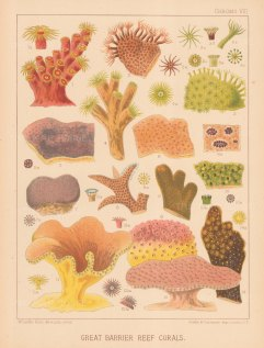 Great Barrier Reef Corals: 14 Corals. Key available.