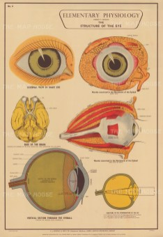 Elementary Physiology: Structure of the eye and optic nerve with details.