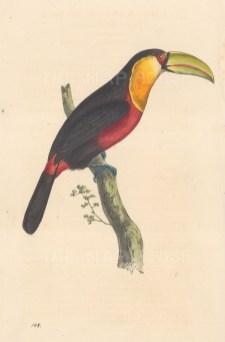 "Swainson: Toucan. 1833. An original hand coloured antique lithograph. 6"" x 9"". [NATHISp7905]"