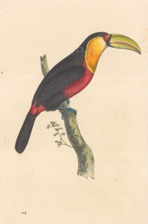 "Swainson: Toucan. 1833. An original hand coloured antique lithograph. 6"" x 9"". [NATHISp7905]"