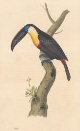 Toucan (Aracari): Sulphur and white breaste Toucan. Ramphastos vitellinus.