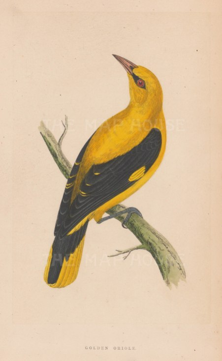 "Morris: Golden Oriole. 1855. An original hand coloured antique lithograph. 5"" x 8"". [NATHISp7910]"