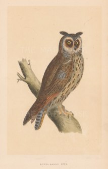 "Morris: Long Eared Owl. 1855. An original hand coloured antique lithograph. 5"" x 8"". [NATHISp7911]"