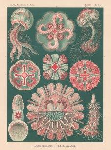 Jellyfish: 1. Aurelia insulinda 2. Aurelia aurita 3. Undosa undulata 4. Floresca parthenia, 5-7. Pelugia perla, 8. Drymonema victoria, 9. Procyanea.