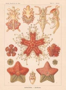 Starfish: 1-8. Asterias rubens, 9 & 11. Hymenaster echinulatus, 10 & 12 Pteraster stellifer.