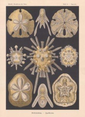 Sea Urchins: 1 & 2 Clypeaster rosaceus 3 & 4 Encope emarginata 5-9 Echinocyamus pusillus