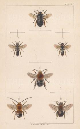 Bees: Large shaggy (1. Panurgus Banksianus), Long horned (2. Eucera longicornis), and Potter flower (3. Anthophora retusa).