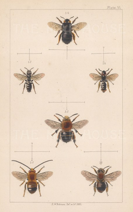 Bees: Large shaggy (1. Panurgus Banksianus), Long horned (2. Eucera longicornis), and Potter flower (3. Anthophora retusa).