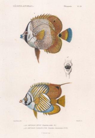Coralfish (Coetodon seton): With a Golden girdled Coralfish (Coetodon chrysozonus)